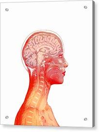 Brain Acrylic Print by Mehau Kulyk