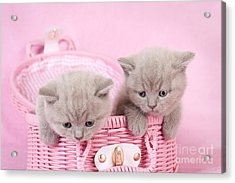 British Shorthair Kitten Acrylic Print by Waldek Dabrowski