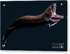 Deep-sea Dragonfish Acrylic Print by Dant� Fenolio