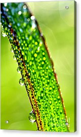 Dewdrops On Lemongrass Acrylic Print by Thomas R Fletcher