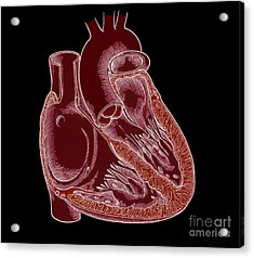 Illustration Of Heart Anatomy Acrylic Print by Science Source