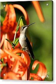 Ruby-throated Hummingbird Acrylic Print by Jack R Brock