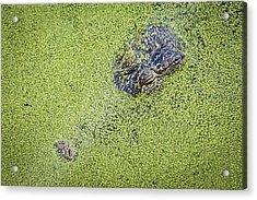 Alligator Untitled Acrylic Print by Patrick M Lynch