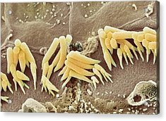 Inner Ear Hair Cells, Sem Acrylic Print by Steve Gschmeissner