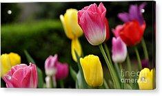 Tulip Garden University Of Pittsburgh  Acrylic Print by Thomas R Fletcher