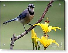 Blue Jay Acrylic Print by Jack R Brock