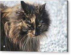 Cat Portrait Acrylic Print by Valia Bradshaw