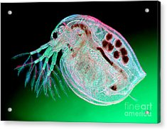 Water Flea Daphnia Magna Acrylic Print by Ted Kinsman