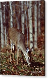 Acrylic Print featuring the photograph White-tailed Deer by Jack  R Brock