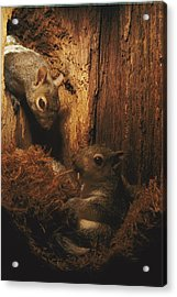 A A Baby Eastern Gray Squirrel Sciurus Acrylic Print by Chris Johns