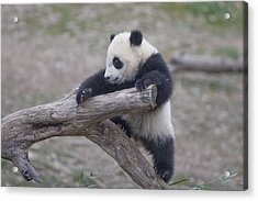 A Baby Panda Plays On A Branch Acrylic Print
