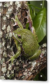A Barking Treefrog Sits On The Crotch Acrylic Print by George Grall