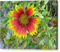 A Beautiful Blanket Flower Acrylic Print by Ashish Agarwal