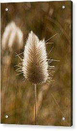 A Beautiful Seed Pod With Beautiful Sun Reflection Acrylic Print