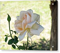 A Beautiful White And Light Pink Rose Along With A Bud Acrylic Print by Ashish Agarwal