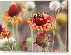 A Bee's Bliss Acrylic Print by Janet Mcconnell