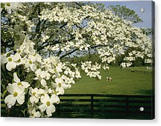 A Blossoming Dogwood Tree In Virginia Acrylic Print by Annie Griffiths