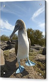 A Blue-footed Booby Of The Galapagos Acrylic Print by Ralph Lee Hopkins