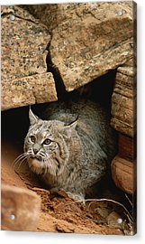 A Bobcat Pokes Out From Its Alcove Acrylic Print by Norbert Rosing