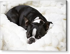 A Boston Terrier Rests On A Puffy White Acrylic Print by Hannele Lahti