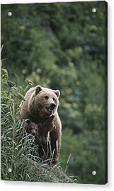 A Brown Bear Sow With Her Twin Cubs Acrylic Print by Tom Murphy