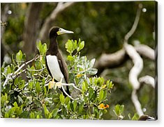 A Brown Booby Sula Leucogaster Acrylic Print by Tim Laman