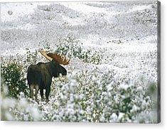 A Bull Moose On A Snow Covered Hillside Acrylic Print by Rich Reid