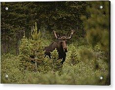 A Bull Moose Stops For A Photograph Acrylic Print by Raymond Gehman