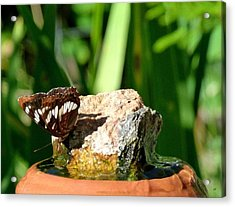 A Butterfly Enjoys A Drink Acrylic Print by Will Borden