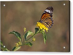 A Butterfly Feeds On Bright Yellow Acrylic Print by Jason Edwards