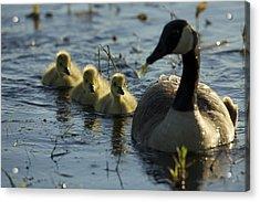 A Canada Goose Branta Canadensis Family Acrylic Print by Tim Laman