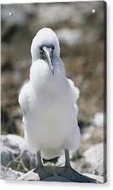 A Chick Blue Footed Booby Sits Acrylic Print by Gina Martin
