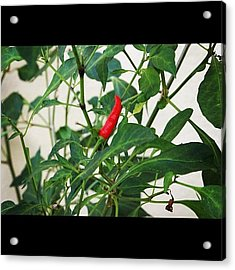 A Chili Fruit Ripe And Waiting To Be Acrylic Print