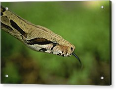 A Close View Of A Red-tailed Boa Acrylic Print by Joel Sartore