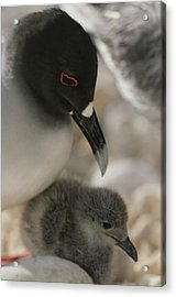 A Close View Of A Swallow Tailed Gull Acrylic Print by Michael Melford