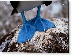 A Close View Of The Webbed Feet Acrylic Print by Tim Laman