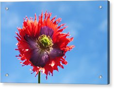 A Colorful Flower With Red And Purple Acrylic Print by John Short