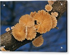 A Common Split Gill Mushrooms Sit Acrylic Print by Darlyne A. Murawski