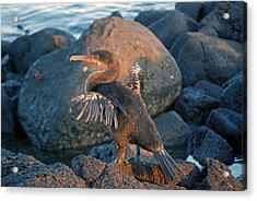 A Cormorant At Sunset Acrylic Print