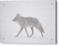A Coyote Canis Latrans Moves Acrylic Print by Annie Griffiths