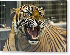 A Critically Endangered Sumatran Tiger Acrylic Print