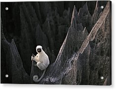 A Deckens Sifaka Lemur In The Grand Acrylic Print by Stephen Alvarez