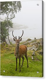 A Deer Stands In A Foggy Meadow By The Acrylic Print by John Short
