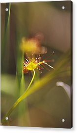 A Delicate Yellow-gold And Lime Green Acrylic Print by Jason Edwards