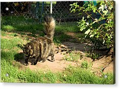 A Different Calico Cat Acrylic Print by Cheryl Poland