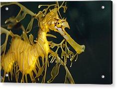 A Diminutive Leafy Sea Dragon Acrylic Print by Jason Edwards