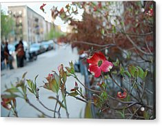 A Dogwood Grows In Brooklyn Acrylic Print by Julie VanDore