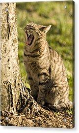 A Domestic Cat Yawning By A Tree Acrylic Print by Tim Laman