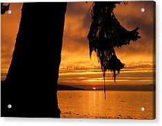 A Douglas Fir Stands Silhouetted Acrylic Print by Taylor S. Kennedy
