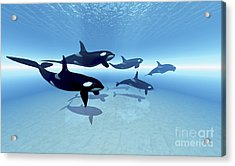 A Family Of Killer Whales Search Acrylic Print by Corey Ford
